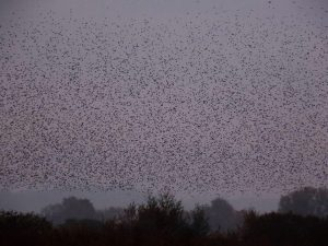 Murmuration Somerset Levels, Love Alice Photography