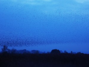 Murmuration - Somerset Levels - Love Alice Photography